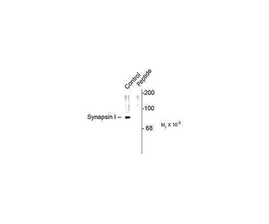 Anti-phospho-Synapsin I (Ser62,Ser67); 100 μL AB9848