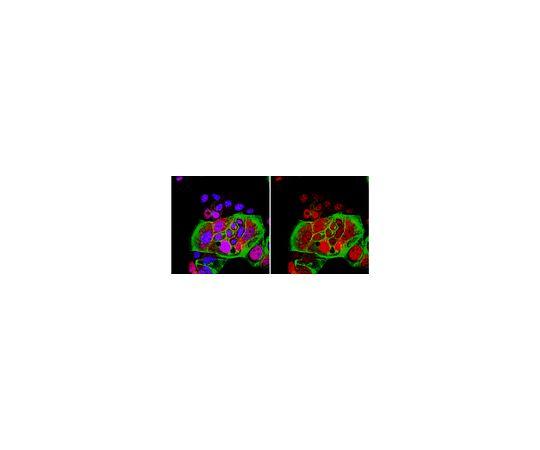 Anti-phospho-BRCA2 (Ser3291); 100 μg AB9986