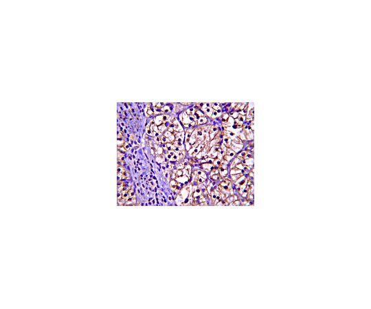 [取扱停止]Anti-Ubiquitin-conjugating enzyme E2 N; 100 μg AB10025