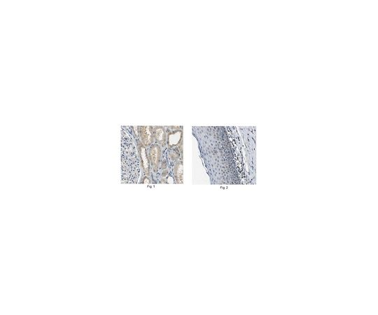 Anti-SNAI1 Antibody, clone 10H4.1 MABE167