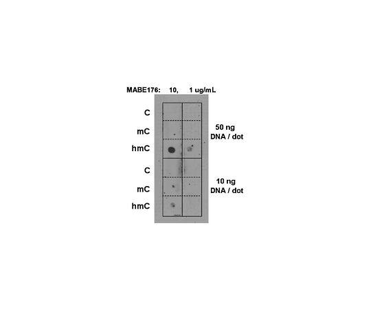 Anti-5-hydroxymethylcytosine, clone AB3/63.3; 100 μg MABE176