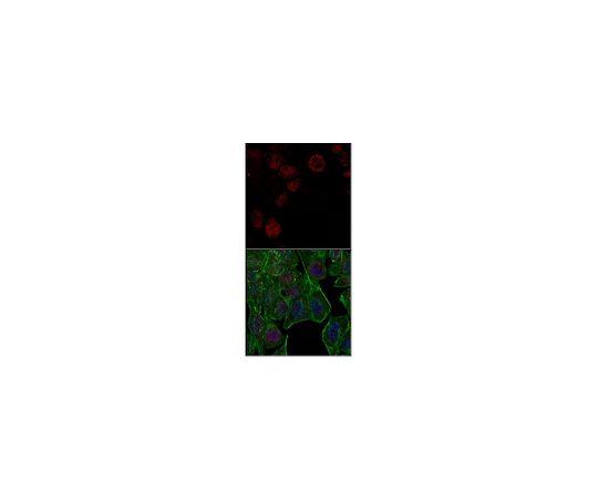 Anti-unmethylated Histone H3 (Lys9), clone 9B1-2G6, Alexa Fluor MABE263-AF647