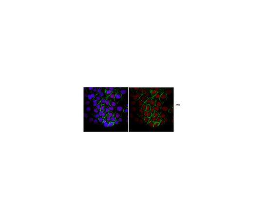 Anti-Replication Protein A, clone RPA34-19 MABE286