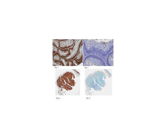 Anti-PCNA, clone PC10 MABE288