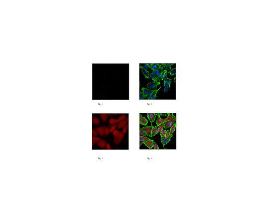 [取扱停止]Anti-Puromycin, clone 4G11, Alexa Fluor(R) 647 Conjugate MABE342-AF647