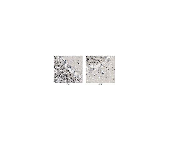 [取扱停止]Anti-TCF-4 Antibody, clone 5F9.1 MABE361