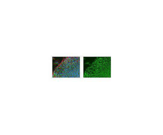 Anti-TRIM33, clone 3B5.1 MABE432