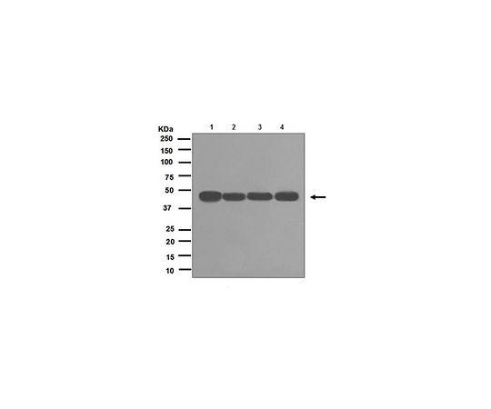 [取扱停止]Anti-RCC1, clone EPR5857, Rabbit Monoclonal MABE578