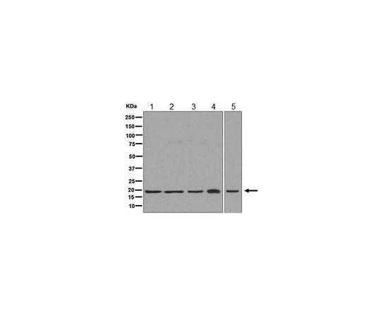 Anti-HMGN2, clone EPR7091, Rabbit Monoclonal MABE596