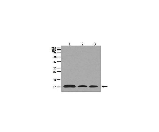 Anti-BANF1, clone EPR7668, Rabbit Monoclonal MABE611