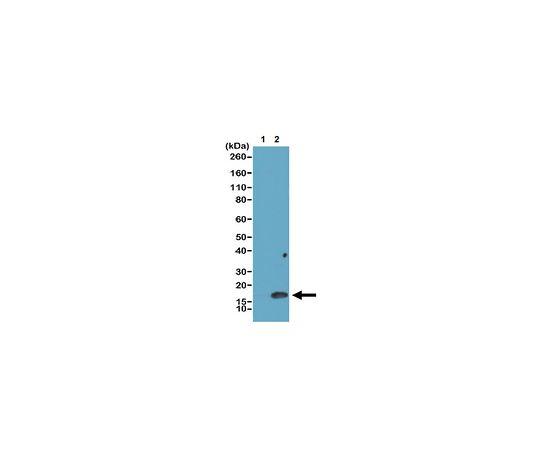 Anti-dimethyl Histone H3 (Lys4), clone RM135 Antibody MABE637