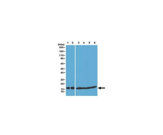Anti-Histone H3 pan Antibody, clone RM188 MABE648