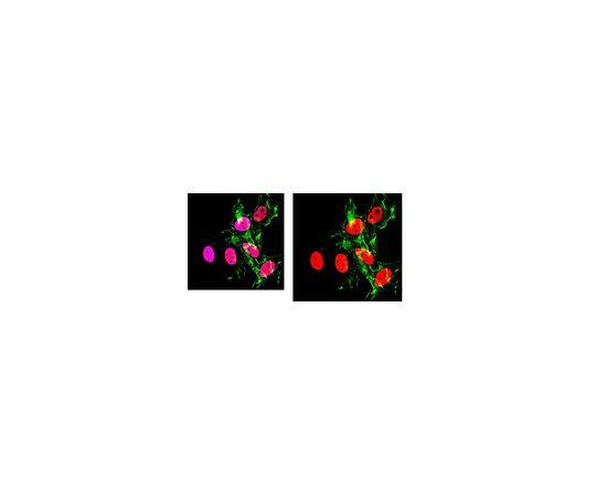 Anti-Acetyl Histone H3 (Lys27) Antibody, clone 5E2.2 MABE670