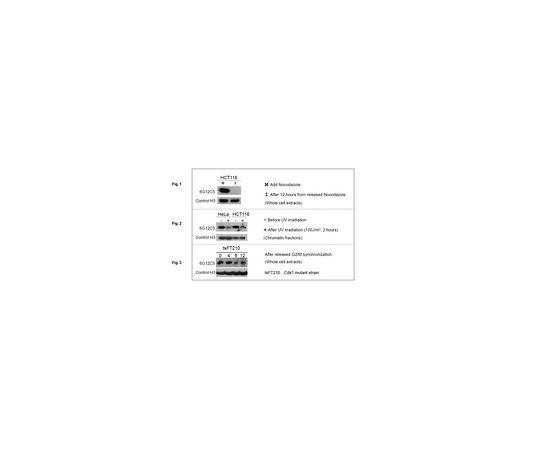 Anti-phospho Histone H3 (Thr11), clone 6G12C5 MABE940
