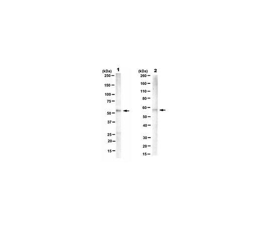 Anti-PTB Antibody, clone BB7 MABE986