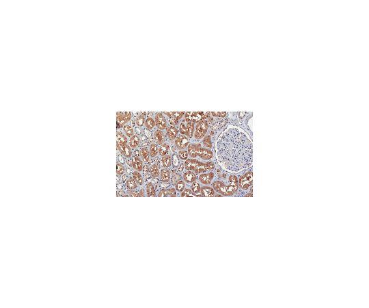 Anti-PRMT9 Antibody, clone 128-29-1 MABE1112
