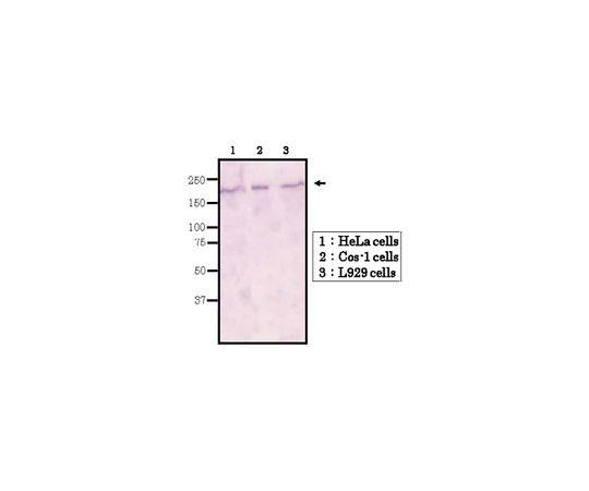 Anti-BRG1/BAF190A Antibody, clone 5B7 MABE1118