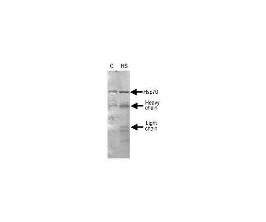 Anti-Hsp70/Hsp72 Antibody, clone 2H9 MABE1130