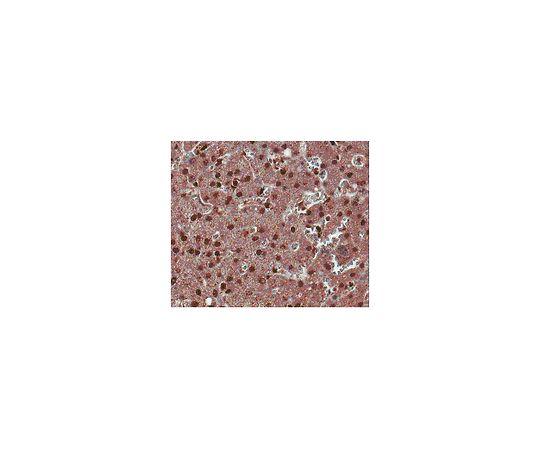 Anti-ROR gamma T, clone 6F3.1; 100 μg MABF81