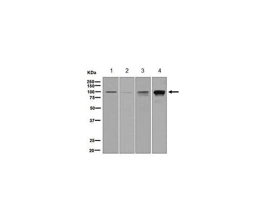 [取扱停止]Anti-IFNGR1, clone EPR7866, Rabbit Monoclonal MABF753