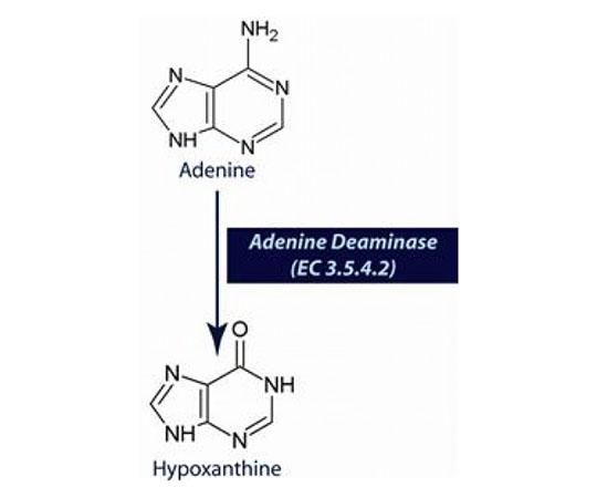 Adenine Deaminase (EC 3.5.4.2) [2micro M], 0.25mL 786-428