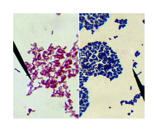 Bacterial Gram Staining, For 6 groups of 4-5 or 24-30 students. BE-202