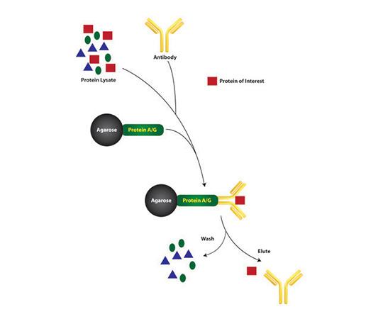 Classical Immunoprecipitation Kit, 50 Reactions 786-637