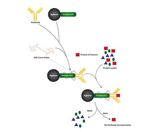 Cross-Link Immunopreciptiation Kit, 50 Reactions 786-639