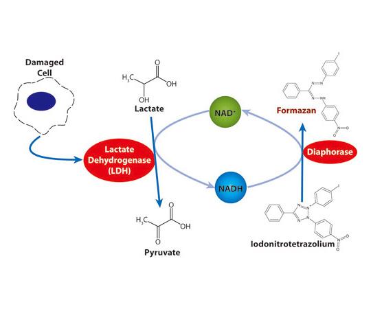 CytoScan LDH Cytotoxicity Assay, 1000 Assays 786-210