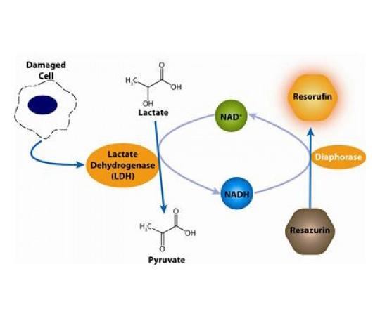 CytoScan-fluoro Cytotoxicity Assay, 500 Assays 786-211