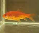 試験研究用魚類・両生類