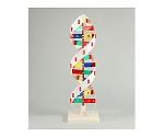 DNAモデル B