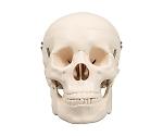 頭蓋骨模型 9700