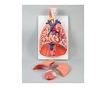 [取扱停止]肺の構造模型(2個) 94206
