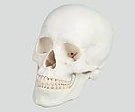 頭蓋3分解モデル 180×190×120 4500