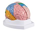 脳5分解モデル 180×150×140