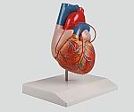 バイパス付心臓2分解モデル 80×80×140 G205